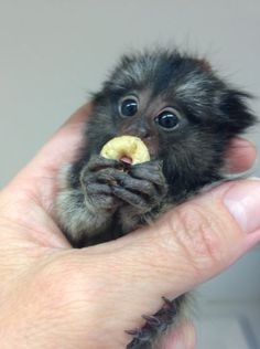 Buy a pygmy marmoset: baby monkeys for sale at poggi's animal house Baby Animals Super Cute, Cute Little Animals, Cute Funny Animals, Baby Animals Pictures, Cute Animal Pictures, Animals And Pets, Marmoset Monkey, Pygmy Marmoset, Cute Baby Monkey