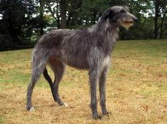 The Scottish Deerhound is a quiet dog who trusts and loves people, including children. They need human friendship and will be a devoted companion to their owner. They are quiet and dignified in the house.     http://www.petside.com/breed-profile/dog/scottish-deerhound#