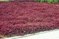 planta lambari roxo - Pesquisa Google
