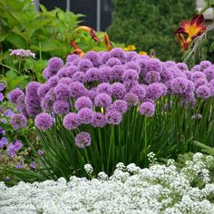 Allium Millenium is a fantastic ornamental onion that unlike its fall-planted relatives, has attractive foliage and rose-pink globe-like flowers in mid summer High Country Gardens, Bloom, Sandy Soil, Unique Plants, Plant Sale, Allium, Flowers Perennials, Companion Planting, Gardens