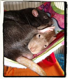 The life of a pet rat, huh? Looks comfy. :-p (Emile laying on top of Teddy Bear in the hammock).