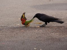 australiano raven e arco-íris lorikeets (foto por acabada:) )