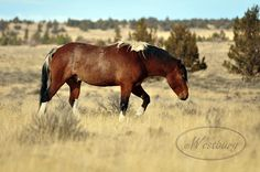 Apache is one of the geldings on the South Steens HMA.