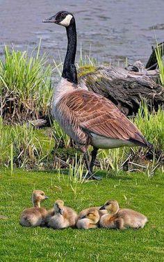 Uccelli/Oca del Canada(Branta Canadensis):