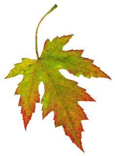 BA1969 | ... high quality stock images | Leaf 1 | ba1969 | October - 14 - 2011 (13