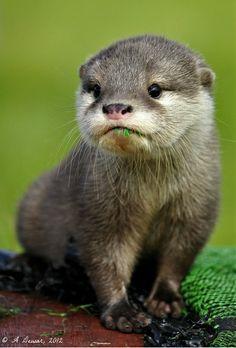 ~~Asian Short Clawed Otter by A Dewar~~