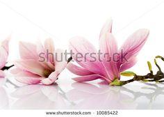 Foto, immagini e grafica d'archivio di Fiori Primavera Magnolia | Shutterstock
