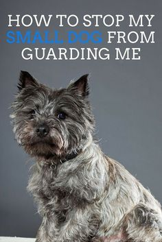 If a small dog is guarding his owner, he is often acting aggressive because of an insecurity. @KaufmannsPuppy