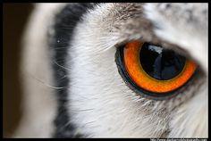 White Faced Scops Owl Eye by Dan Harrod, via Flickr