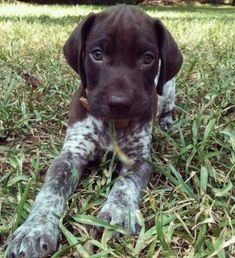 German Shorthaired Pointer precious baby
