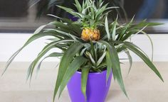 Ananas-Pflanzen selbst vermehren -  Die Anzucht einer neuen Ananas-Pflanze aus dem Blattschopf der Ananas-Frucht ist kinderleicht. Hier lesen Sie, wie sie funktioniert und was Sie dafür brauchen.