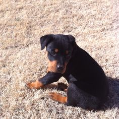 Rott puppy :).. my next dog.. got a while though :)