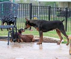 The Garrets have the most beautiful Dobermans I've ever seen. These blues are just amazing!