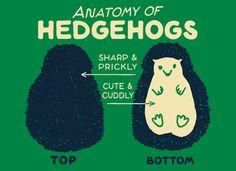Anatomy Of Hedgehogs Hedgehog Care, Baby Hedgehog, Hover Cat, Hedgehog Drawing, Raising Backyard Chickens, Cute Funny Animals, Easy Drawings, Funny Tshirts, Anatomy