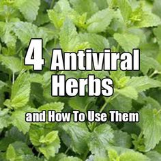 4 Powerful Antiviral Herbs and How To use Them