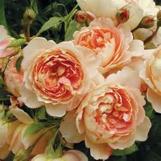 David Austen Carding Mill rose - Yahoo Image Search Results