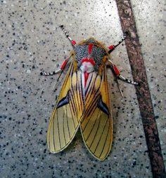 Tiger moth, Idalus sp. (Arctiidae)