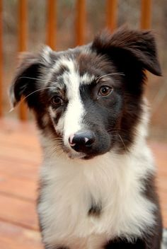 pawsforpets: Australian Shepherd by PsychaSec on Flickr - via Pinterest