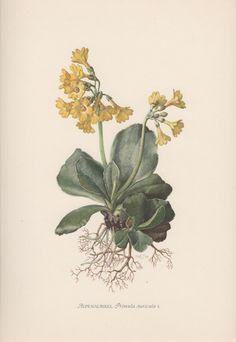 1954 Yellow Primrose Botanical Print Vintage by Craftissimo