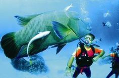 Bumphead parrotfish (Osprey Reef, The Great Barrier Reef)