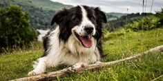 Border Collie: un cane in perenne movimento