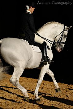 """The Lipizzan or Lipizzaner (Slovene: Lipicanec, Czech: Lipicán, Croatian: Lipicanac, Hungarian: Lipicai, Italian: Lipizzano, ). The Lipizzan breed dates back to the 16th century, when it was developed with the support of the Habsburg nobility. The breed takes its name from one of the earliest stud farms established, located near the Karst Plateau village of Lipica (spelled """"Lipizza"""" in Italian), in modern-day Slovenia."""
