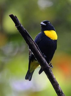 Golden-chested Tanager - Andrew Spencer