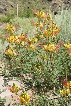 Desert Plants | Flowering Desert Plant
