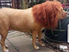 Para ahuyentar vecinos y ladrones disfrazó de león a su perro