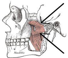 jaw muscles http://reviewscircle.com/health-fitness/dental-health/natural-teeth-whitening
