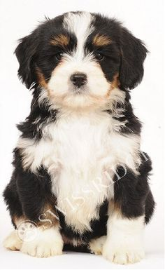 Australian Bernedoodle Puppies | SwissRidge Bernedoodles - The Originator of the Breed Cute Puppies, Cute Dogs, Dogs And Puppies, Animals And Pets, Baby Animals, Cute Animals, Silly Dogs, Big Dogs, Bernese Mountain