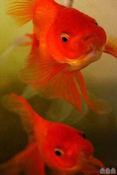 """my favorite oranda """"DEKABUTU""""  金魚"""