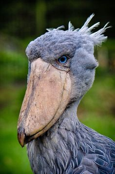 The Shoebill. Native to large swamps from Sudan to Zambia in tropical east Africa.This large stork-like bird gets its name because of the shape of its beak. Even though it was already known to ancient Egyptians and Arabs, the bird was only classified in 19th century.