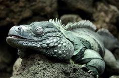 Blue Iguana Photograph  - Grand Cayman
