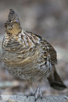 Ruffed Grouse (Bonasa umbellus) Grouse Hunting, Peafowl, Game Birds, Partridge, Birds Of Prey, Quail, Nature Animals, Taxidermy, Beautiful Birds
