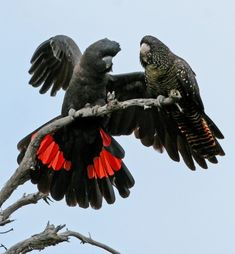 Red-tailed Black-Cockatoo Pair from Australia - males are jet black with a broad band of red in his tail;  the female is a more dull black with yellow speckles on her head and breast and yellow patches in her tail