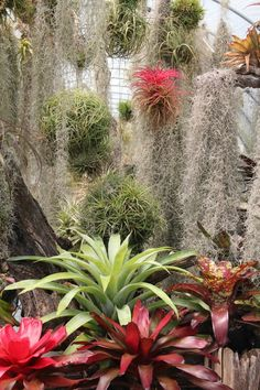 Tillandsia schatzliiSmall single plants of this species with thick succulent like leaves.Gets 5-7 inches tall.