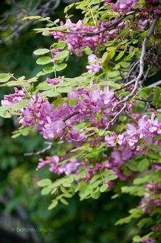 Rózsás Akác (Robinia hispida) gondozása, szaporítása