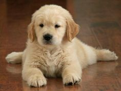 Golden Retriever puppy. I want an entire basket of them, please! #sosweet