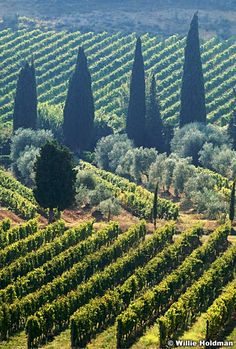 The vineyard in Tuscany countryside, Italy, Favorite