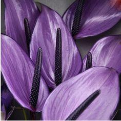 120 pcs Rare Flower Anthurium Seeds Balcony Potted Plant Anthurium Flower Seeds for DIY Home Garden