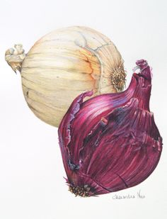Botanical Illustration - The humble onion captured in pencil and watercolour Vegetable Illustration, Art And Illustration, Illustrations, Food Painting, Painting & Drawing, Watercolor Paintings, Botanical Drawings, Botanical Prints, Watercolor Fruit