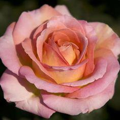 charles de gaulle rose mexican rose garden pinterest roses. Black Bedroom Furniture Sets. Home Design Ideas