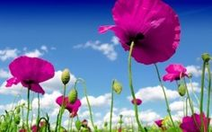 Abraham Hicks - Easy and fun way to change old beliefs 2k Wallpaper, Nature Wallpaper, Pink Poppies, Purple Flowers, Nature Hd, Abraham Hicks Quotes, Landscape Wallpaper, Subway Art, Wonderful Things