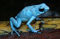 Oophaga silvatica-Harlequin Poison Frog