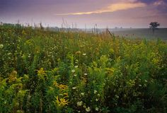 Grasses in Prairie, Iowa: The Iowa landscape was shaped largely by native tallgrass prairie. Today in Iowa, corn (maize) is one of our two major crops, and many of the weeds in our agricultural fields are grasses