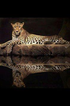 That jaguar knows where it's cool...