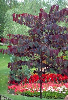 Eastern Redbud Cercis canadensis Forest Pansy Redbud Tags:      Butterfly Gardens,     Trees