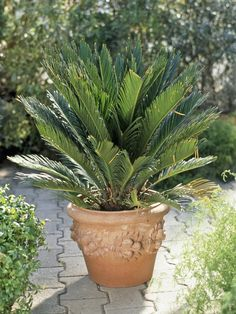 Seltene Yucca torreyi winterhart buschig für den Garten bis 6 Meter hoch