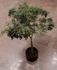 How to Care for Ficus -- via wikiHow.com